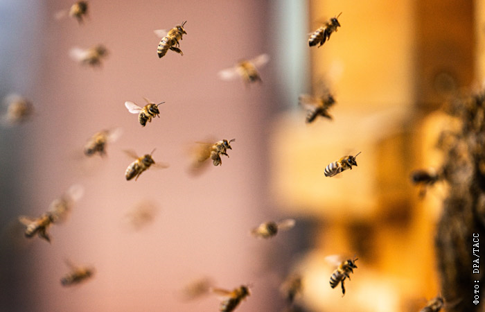 Гибель пчёл грозит России ущербом более чем в 1 трлн рублей