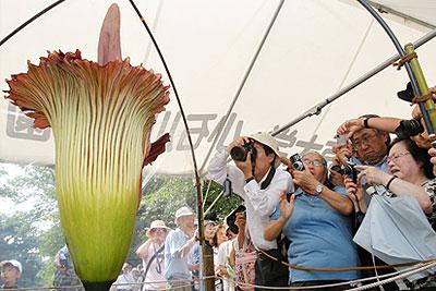 В Токио зацвел самый большой и самый вонючий цветок в мире