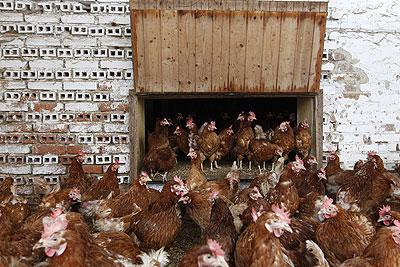 В Германии проверяются птицефермы в связи с диоксиновым скандалом