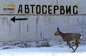 Отбившуюся олениху спасли от диких собак в районе в МКАД