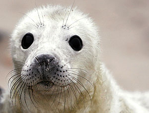 Детеныши тюленя обречены