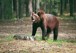 "Медвежий ""шоппинг"""