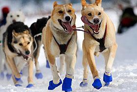 Гонка на собаках