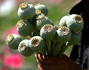 семена кондитерского мака: