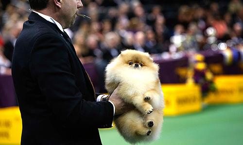 Собака породы померанский шпиц. Всего на выставке будет представлено 2700 собак, в том числе двух новых пород: триин-уокер кунхаунд и рассел-терьер.