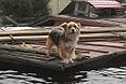 Собака стоит на крыше затопленного дома в поселке Владимировка, расположенном в трех километрах от города Благовещенск Амурской области.
