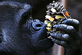 """Горилла есть """"фруктово-овощную шишку"""" в частном семейном зоопарке Palmyre Zoo на западе Франции."""