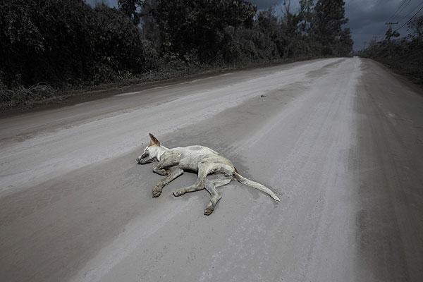Тело мертвой собаки попало в объектив фотокорреспондента Reuters в зоне извержения индонезийского вулкана Синабунг.