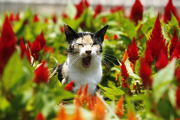 В Кеннеди-парке в перуанской Лиме проживает колония из двухсот котов, которых подкармливает местное население и волонтеры. 20 февраля в Перу праздную День Кота. Судя по фото, виновники торжества устают от повышенного людского внимания.