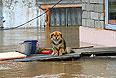 Собака в затопленном дворе. Ждет спасения.