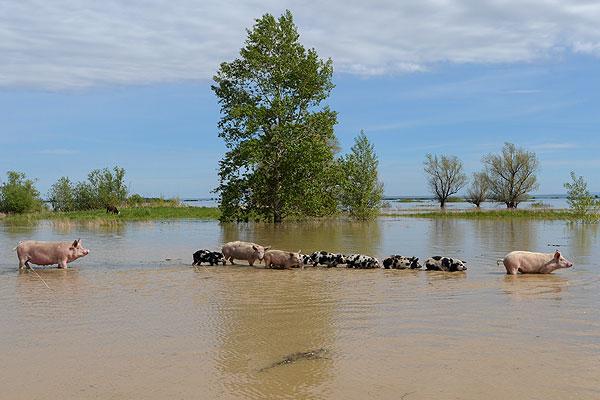 Свиньи с поросятами в затопленном селе.