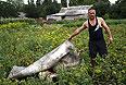 Тело пассажира рейса  MH17, найденное в поле.