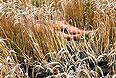 Тело пассажира самолета рейса MH17, найденное в поле.