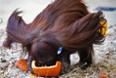 Орангутанг пьет воду из тыквы во время завтрака в канун Хэллоуина в Шёнбруннском зоопарке в Вене.