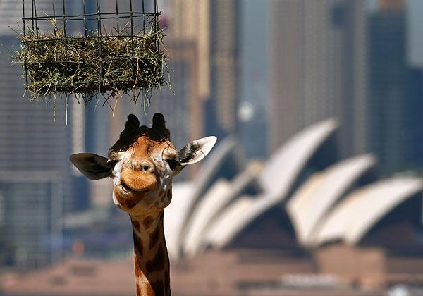 Жираф во время кормления в сиднейском зоопарке Таронга.