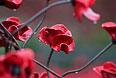 """Маки в ряде стран являются символами памяти жертв вооруженных конфликтов. Идею использовать этот цветок как символ памяти в 1918 году высказала преподавательница американского университета Мойна Майкл, которую вдохновило стихотворение канадского военного врача Джона Маккрея """"На полях Фландрии"""". Оно было написано под впечатлением от смерти друга на войне и начиналось со слов """"На полях Фландрии между крестами качает ветер мак рядами…"""""""