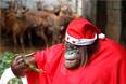 Орангутанг перевоплотился в Санту во время рождественской вечеринки в зоопарке Малабон, Филиппины