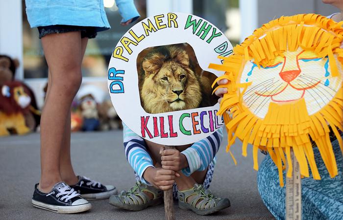 Сесил - один из самых старых и знаменитых львов Зимбабве. 13-летний лев носил ошейник с GPS-навигатором, который являлся частью исследовательского проекта Оксфордского университета с 1999 года. Ошейник позволял отслеживать перемещения льва и изучать их.