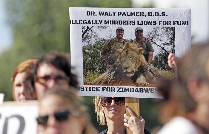 Личность убийцы быстро установили – им оказался опытный охотник, стоматолог из американского штата Миннесота Уолтер Джеймс Палмер. Местная полиция утверждает, что Палмеру может быть предъявлено обвинение в браконьерстве.