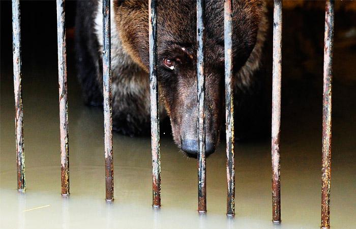 """Медведь в затопленном вольере зоопарка """"Зеленый остров"""" в Уссурийске"""