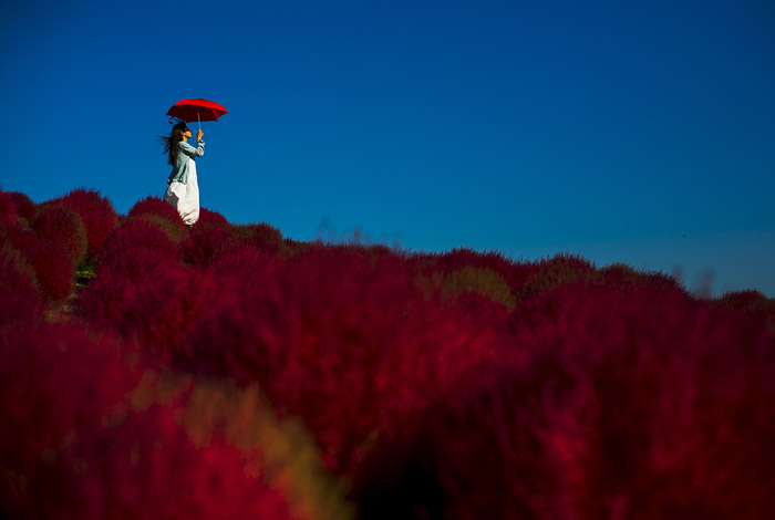 Кипрейное поле в японском парке Хитачи