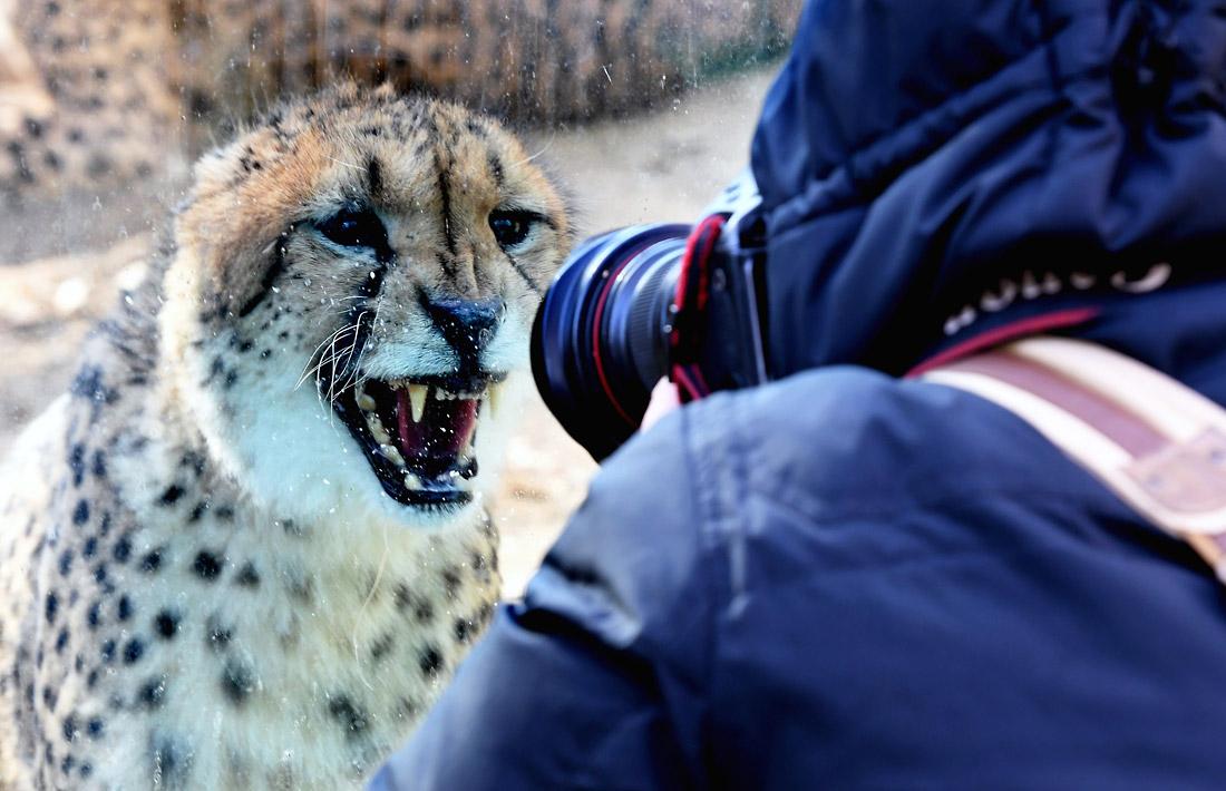 Гепард в зоопарке китайского Чжэнчжоу