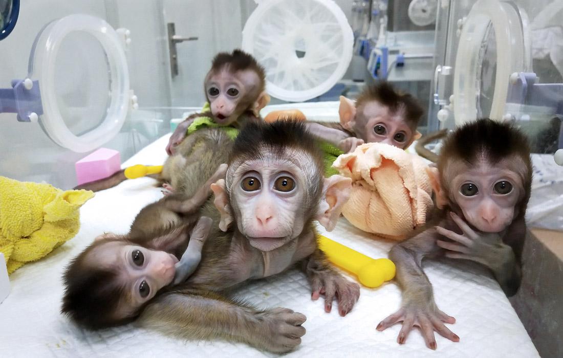 В Китае вывели пять клонированных обезьян с генетически измененной структурой генов для проведения биомедицинских исследований