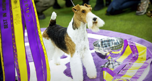 Ежегодная выставка собак Westminster Kennel Club