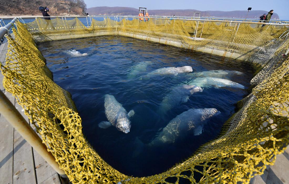 Отловщики морских животных адаптируют их к дальнейшей работе в океанариумах, несмотря на заявления Минприроды и надзорных органов о необходимости выпустить косаток и белух в естественную среду обитания