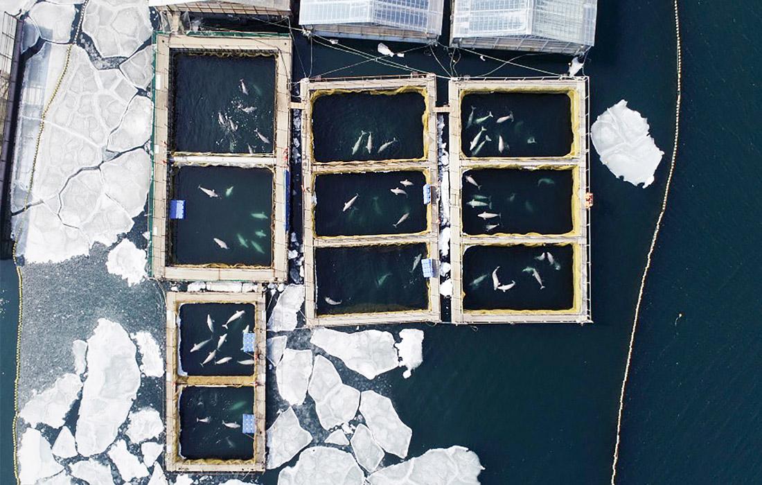 """В декабре из """"китовой тюрьмы"""" исчезли три детеныша белух в возрасте до года, которые, по словам экспертов, плохо переносят неволю. Отловщики утверждают, что животные вырвались и уплыли; экологи уверены, что белухи погибли."""