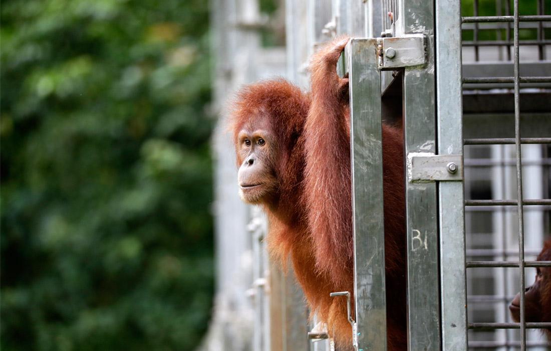 Суматранского орангутана выпустили в дикую природу в рамках индонезийской программы по сохранению редких видов приматов