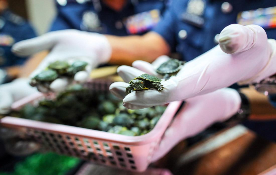 Более пяти тысяч молодых красноухих черепах изъяли таможенники в аэропорту Куала-Лумпура в Малайзии. Контрабандный товар пытались вывезти из страны двое индийцев.