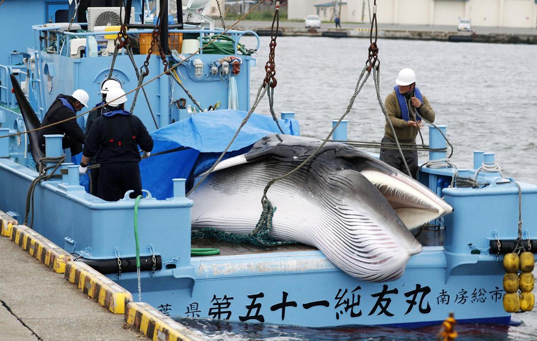 Япония прекратила членство в Международной комиссии по промыслу китов и возобновила коммерческий промысел