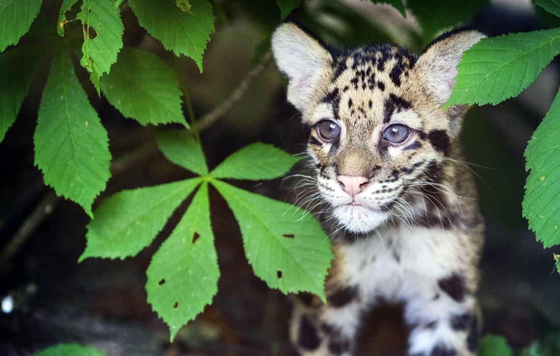 Детеныши дымчатого леопарда были впервые представлены публике в зоопарке Нидерландов