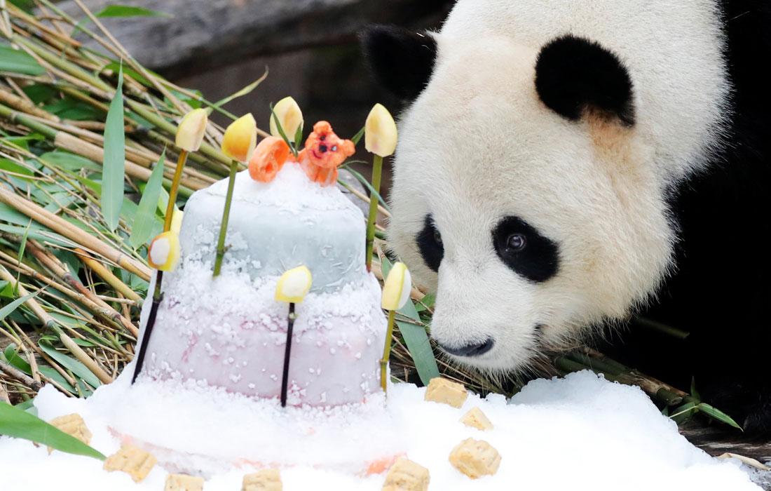 В Берлинском зоопарке панда Цзяо Цин отметила девятилетие тортом из замороженных овощей
