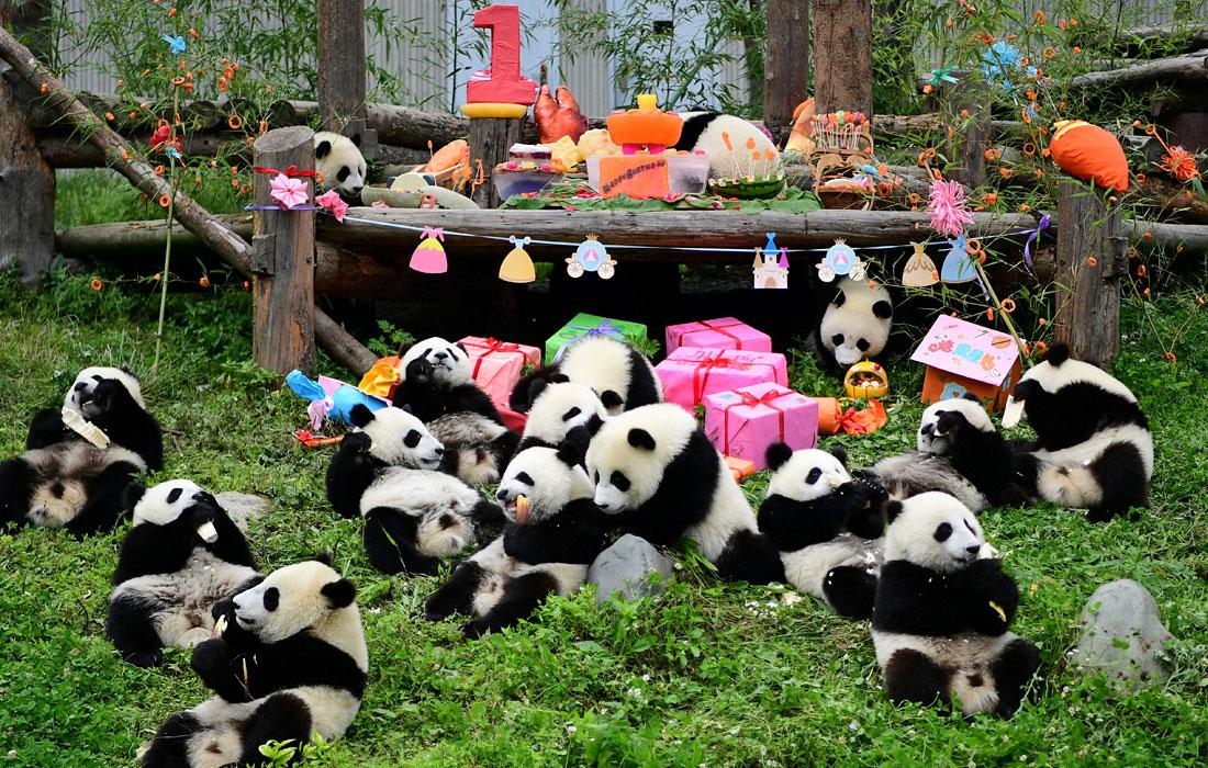 много панд на картинке исполняемые новогодних утренниках