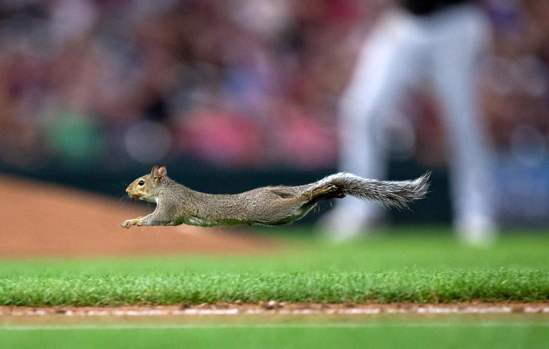 Выбежавшая на поле белка нарушает бейсбольный матч на стадионе Таргет-филд в Миннеаполисе