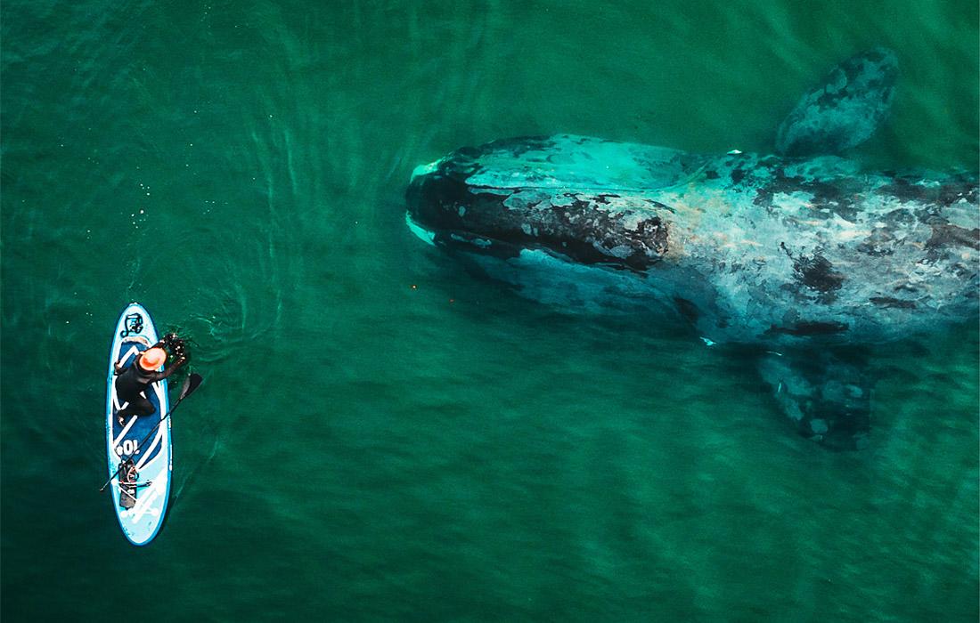 Гренландский кит в бухте Врангеля