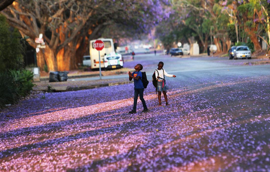Цветение фиалкового дерева в Зимбабве