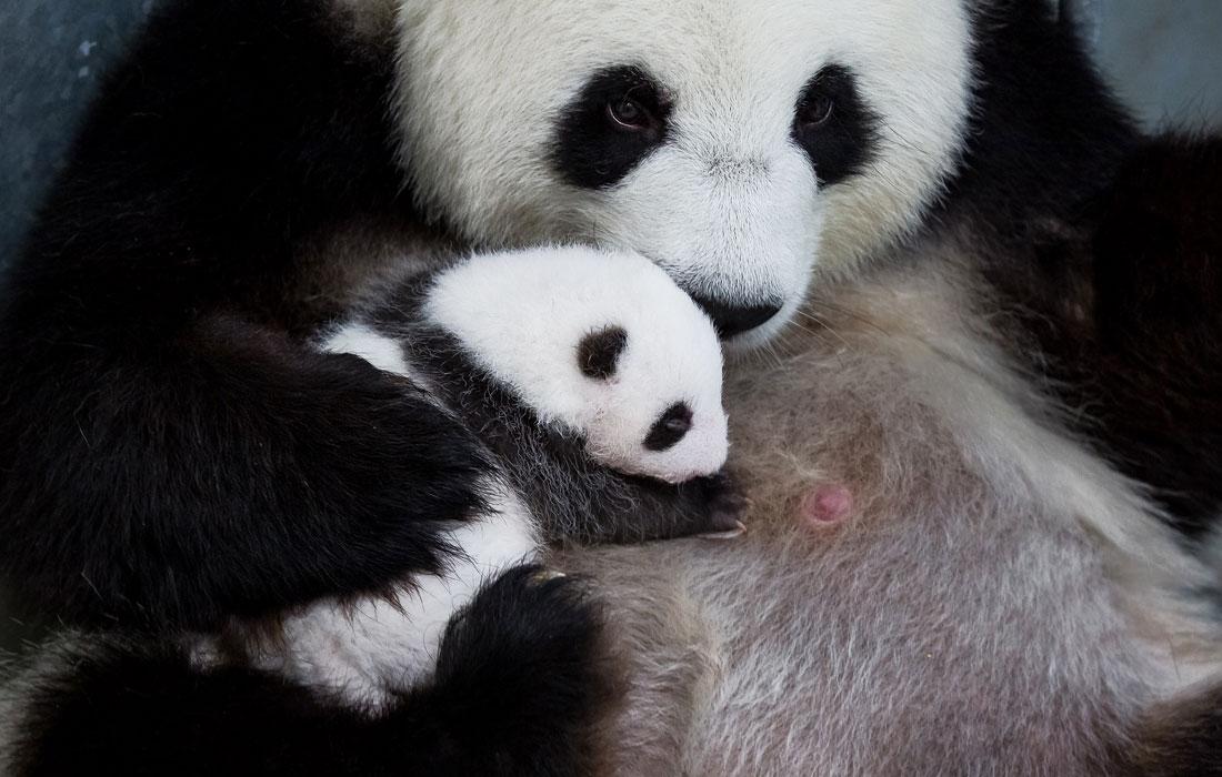 Большая панда Мэн Мэн кормит детеныша в Берлинском зоопарке. 31 августа Мэн Мэн родила двойню, что является большой редкостью для всего вида.