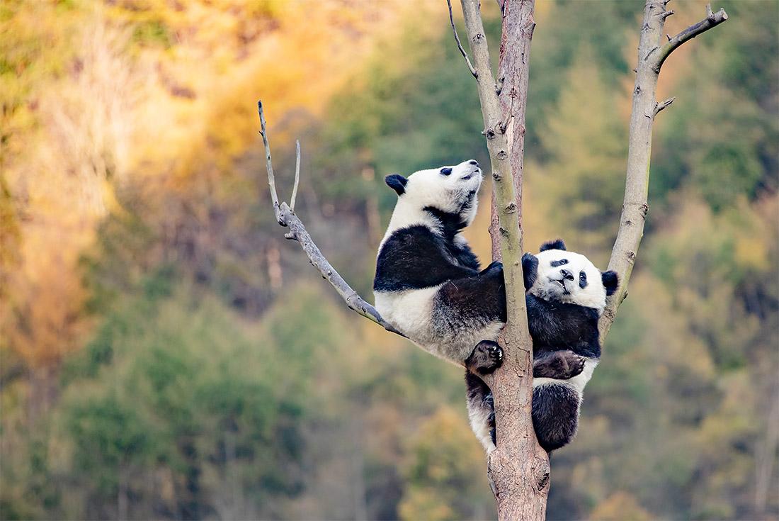 У панд в китайской провинции Сычуань день прошел традиционно