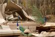 Павлины у сгоревших обломков дома в Хилвилле