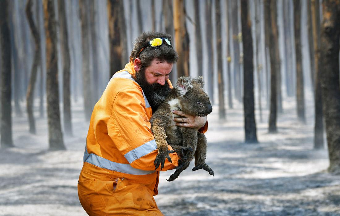 Житель Австралии держит коалу, которую он спас в горящем лесу у мыса Борда на острове Кенгуру