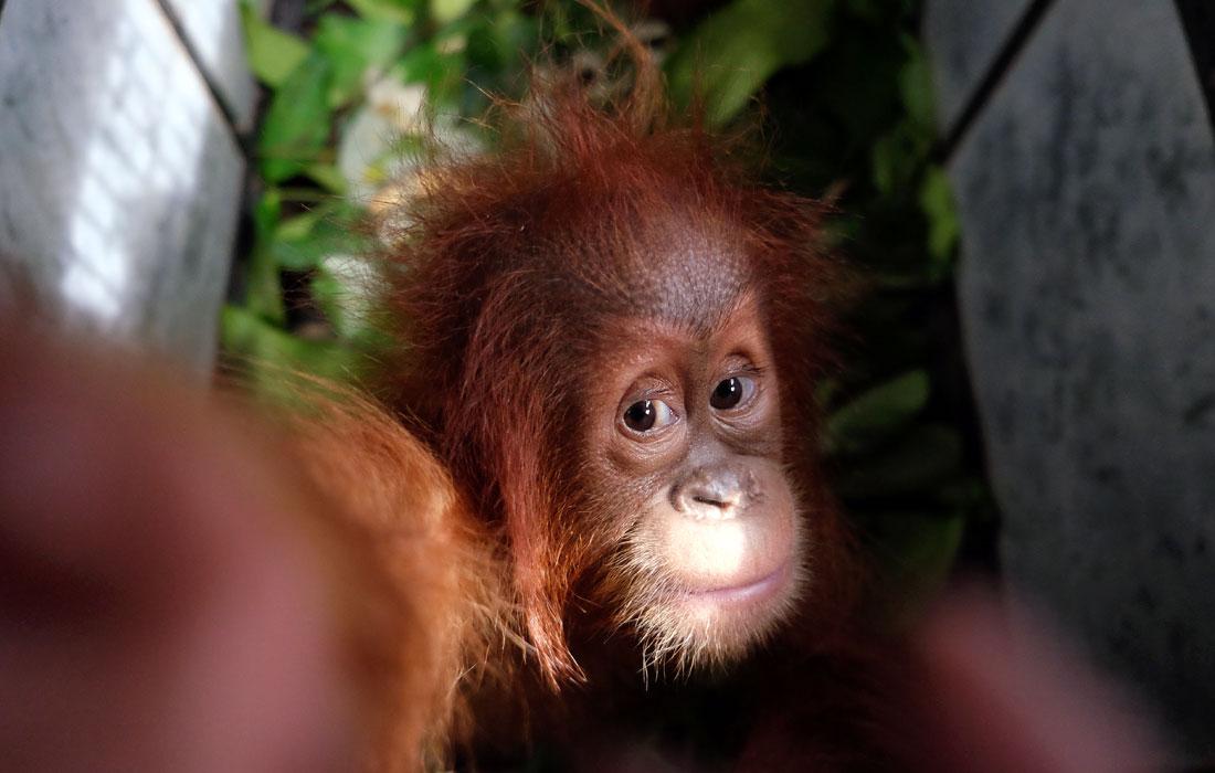Один из двух детенышей орангутана, конфискованных у нелегальных торговцев. Офис Национального парка Leuser Mount в городе Медан, Индонезия.