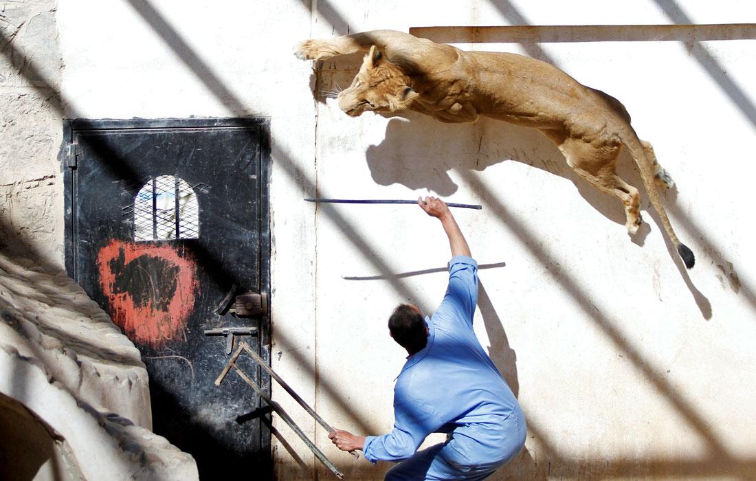 Дрессировка львицы бывшего президента Йемена
