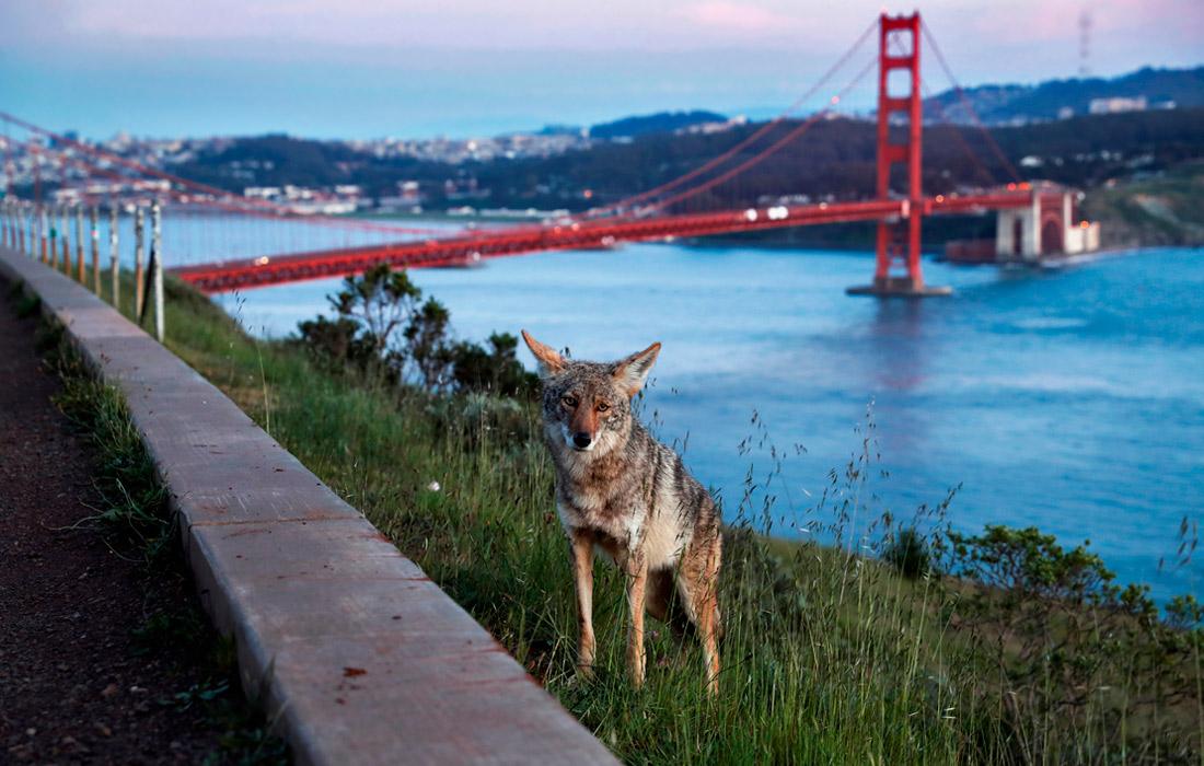 7 апреля. В период локдауна дикие койоты вышли на улицы Сан-Франциско.