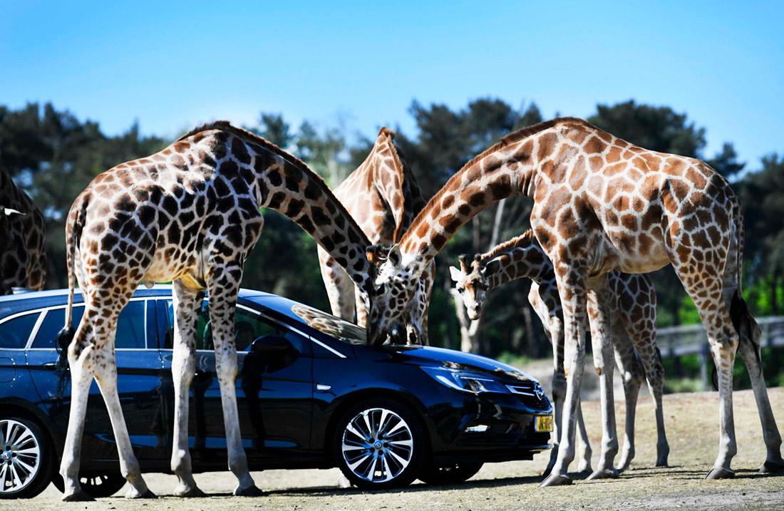 Сафари-парк Beekse Bergen в городе Хилваренбек (Нидерланды) вновь открыт для посетителей