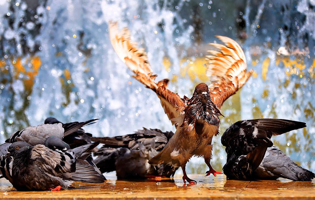 Голуби охлаждаются в фонтане в жаркий летний день в Бухаресте, Румыния