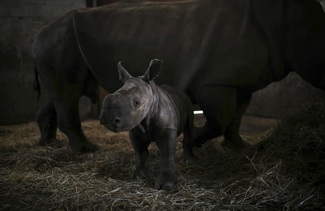 Десятидневный детеныш носорога в чилийском зоопарке