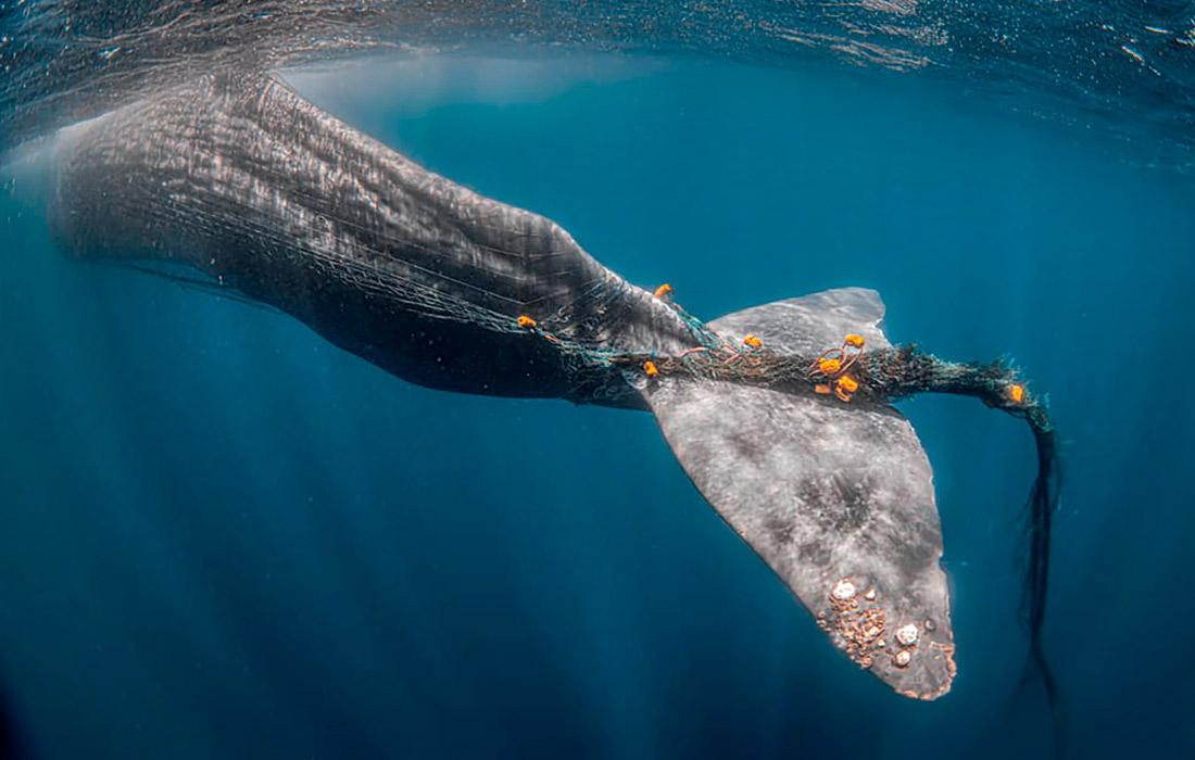 Кашалот, запутавшийся в рыболовной сети в водах Гибралтарского пролива